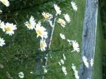 daisies 2012