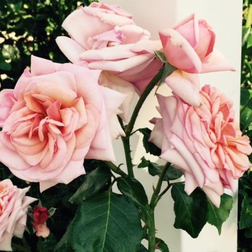 rose silk petals
