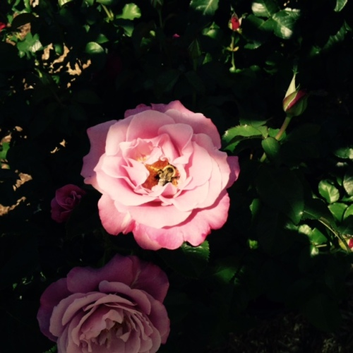 rose with bee